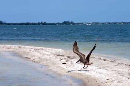 sandbar: Florida Brown Pelican taking flight from a sunny sandbar in Indian River Lagoon
