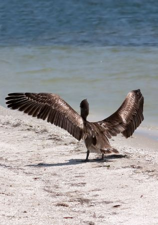 Florida Brown Pelican on sandbar with wings spread Stock Photo - 916929