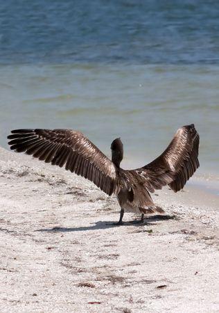 sandbar: Florida Brown Pelican on sandbar with wings spread