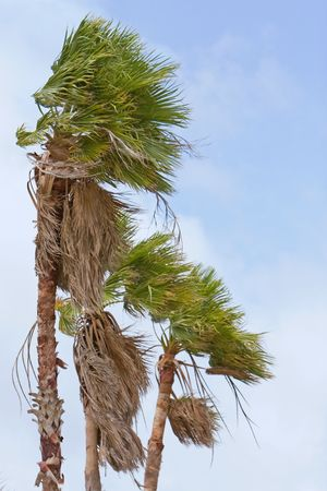 Wind blown palm trees on Florida coast following TS Barry of 2007 Stock Photo