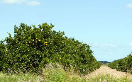 florida citrus: Florida citrus grove with fruit ripening on tree