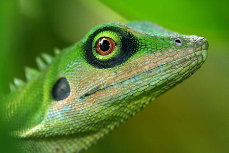 A green tree lizard.