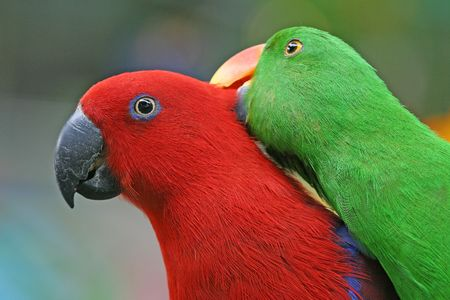 parrot: A pair of loving parrot. Stock Photo