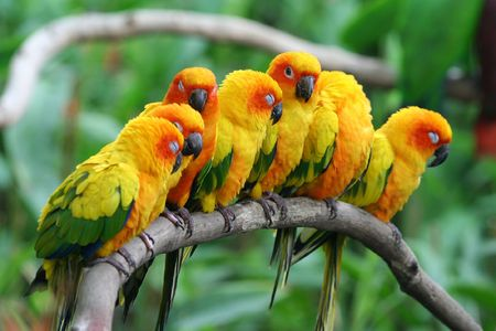 A row of little parrots resting.