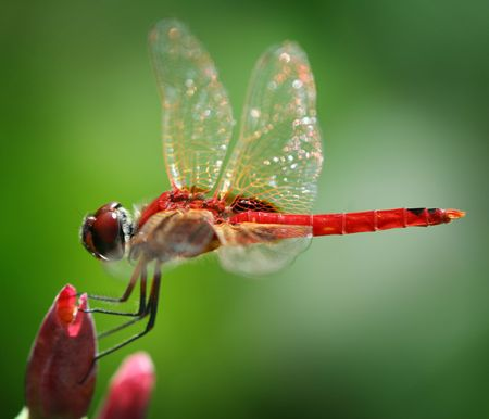 Red dragonfly at rest. Stock Photo - 3254820