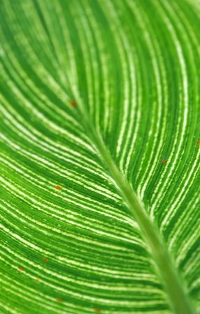 Lines and pattern of the back of a leaf. Stock Photo