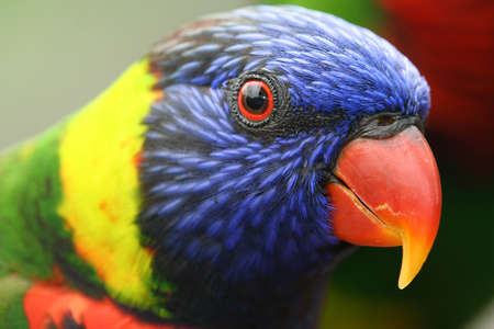 Close up of a colourful lory.