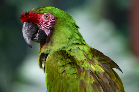 A green macaw.