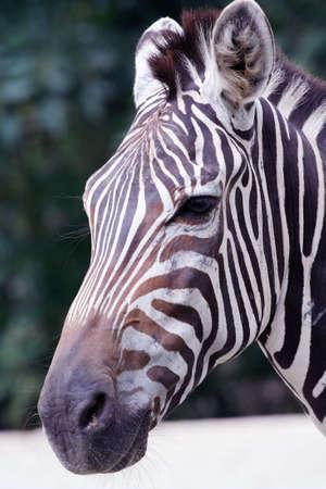 A zebra close up.