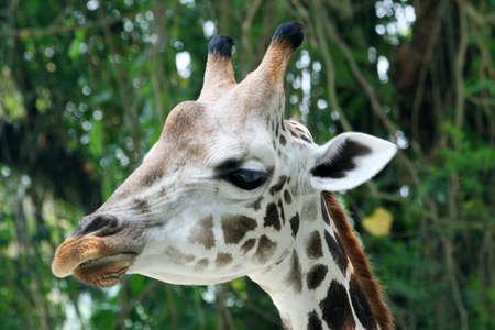 A giraffe close-up.