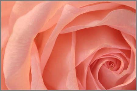A pink rose close up. Stock Photo