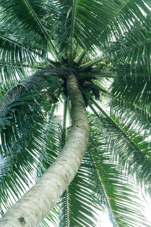 A coconut tress in the park.