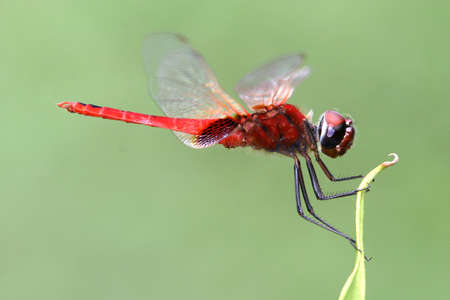 A red dragonfly. Stock Photo
