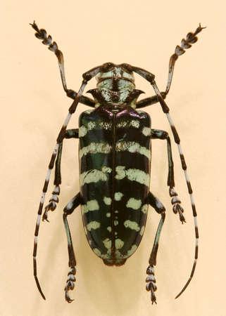 BlackWhite Beetle
