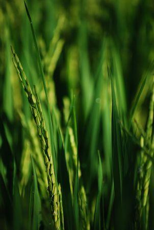 Rice tallos verticales  Foto de archivo - 2886011