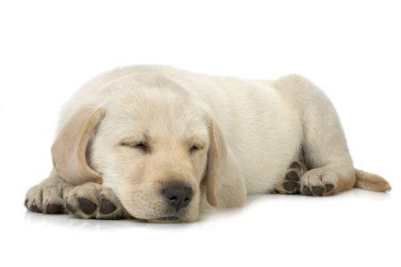 Sleeping Labrador retriever puppy against white background Stock Photo