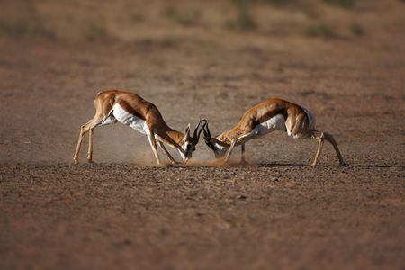 settling: Springbok males engaged in a fierce battle ; Antidorcas Marsupialis