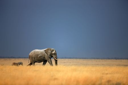 africana: Elephant bull and zebra walking in open grassfield; Loxodonta Africana; Etosha