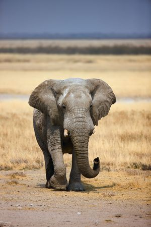 grassfield: Elephant bull walking in open grassfield; Loxodonta Africana; Etosha Stock Photo