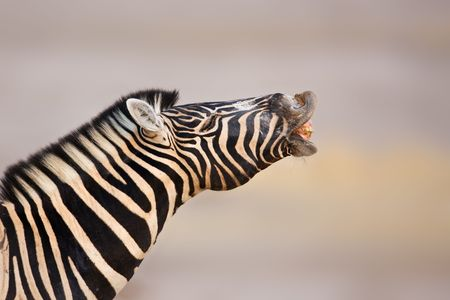 Zebra making sounds with open lips and teeth on display photo
