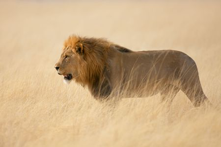 manes: Male lion walking in the tall grass ; panthera leo