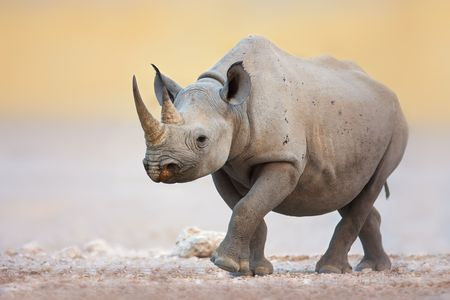 plains: Black Rhinoceros walking on salty plains of Etosha