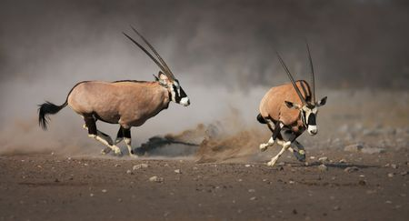 fleeing: Aggressive antelope chase looser after a fight; Etosha