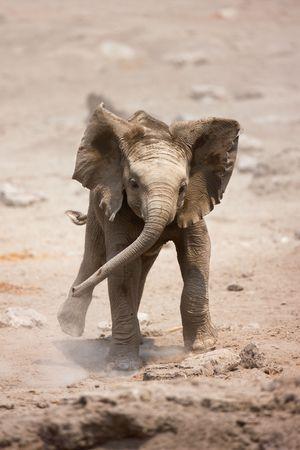africana: Baby Elephant mock charging; Loxodonta Africana; Etosha Stock Photo