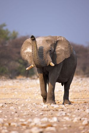 lifted: Elephant with trunk lifted (smelling water); Loxodonta Africana; Etosha