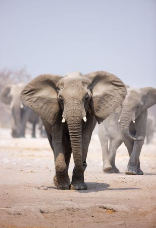dusty: Elephant approaching over dusty sand with herd following in background