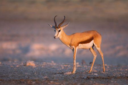 antidorcas: Springbok portrait at last light of day; Etosha; Antidorcas Marsupialis Stock Photo