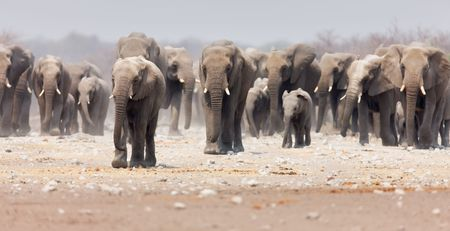 africana: Large herd of elephants approaching over  the dusty plains of Etosha (focus on foremost elephant) Stock Photo