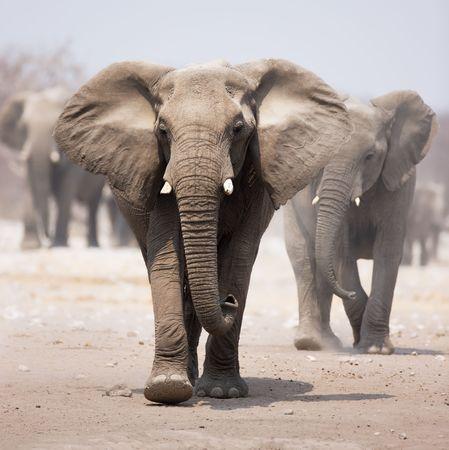 elefante: Elefante acercarse a trav�s de arena polvoriento con reba�o tras en segundo plano  Foto de archivo