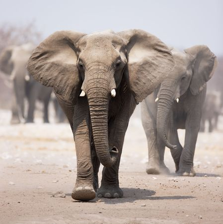 africana: Elephant approaching over dusty sand with herd following in background