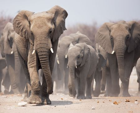 herd: Large herd of elephants approaching over  the dusty plains of Etosha