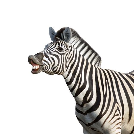 Laughing zebra isolated against white background; equus burchells
