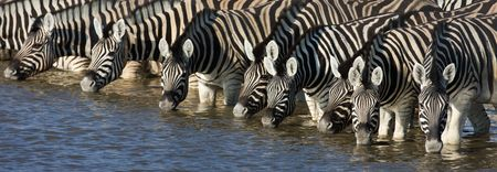 Panorama of zebra heads drinking water in Etosha; Equus burchells photo