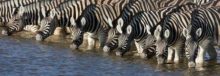 Panorama of zebra heads drinking water in Etosha; Equus burchells