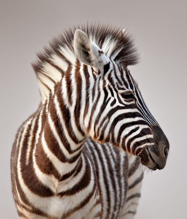 Close-up portrait of a  baby zebra;  Etosha; Equus burchells