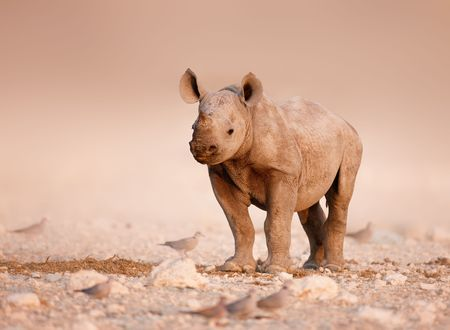 Baby Black Rhinoceros standing on salty plains of Etosha
