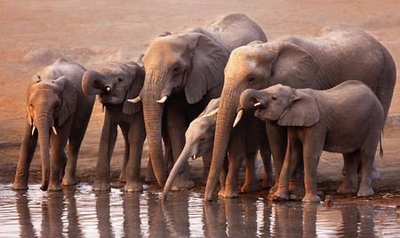 africana: Elephant herd drink at a waterhole in Etosha