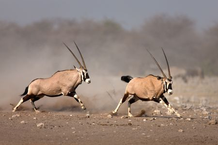 Aggressive antelope chase looser after a fight; Etosha photo