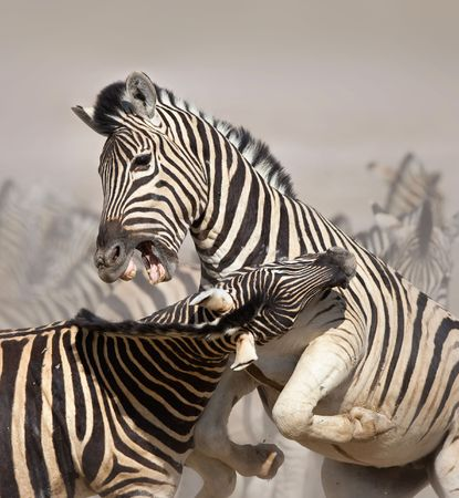 herbivore natural: Close-up of two stallions fighting and biting ; Etosha; Equus burchells Stock Photo