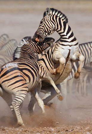 cebra: Close-up de dos sementales combates y morder; Etosha; del Equus burchell