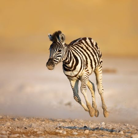 galloping: Close-up of a young zebra running on rocky plains of Etosha Stock Photo