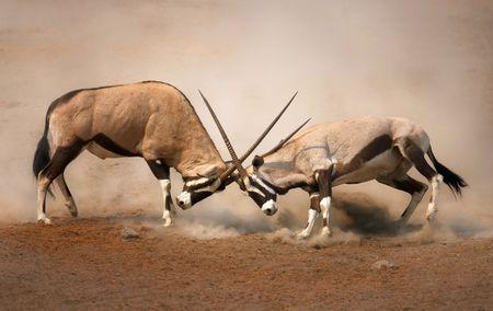 ÊIntense fight between two male Gemsbok on dusty plains of Etosha Stock Photo