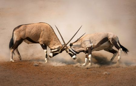 animals together: �Intense fight between two male Gemsbok on dusty plains of Etosha Stock Photo