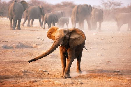 africana: Elephant mock charging with herd walking away in background