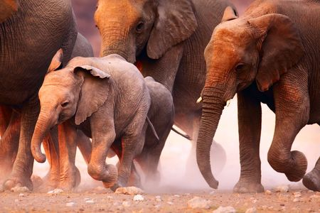 africana: Elephant herd on the run in Etosha desert