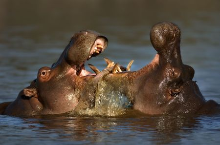 exhibiting: Two fighting hippos; Hippopotamus amphibius; South Africa Stock Photo